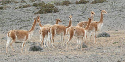 アルパカによく似た動物「ビクーニャ」は人に懐かない